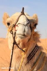 nomade,dromadaire,desert,authentique,meharee,douz
