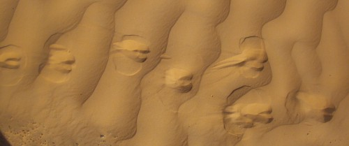 Sur Les Traces Des Gazelles Désert Tunisien Authentique; désert, Tunisie, Douz, Sahara, Grandes dunes, nomade, bédouins, dromadaires